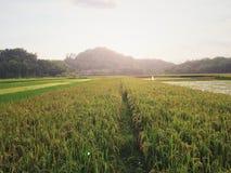Solig ricefield Fotografering för Bildbyråer