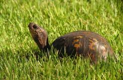 solig sköldpadda Arkivbilder