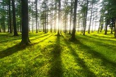 solig skog Royaltyfri Foto