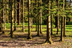 Solig skog för afton på våren Royaltyfri Foto