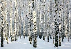 Solig snöig vinterbjörkdunge Royaltyfri Fotografi