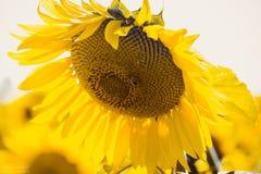Solig solros Fotografering för Bildbyråer