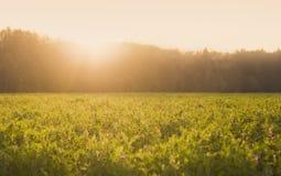 Solig sommaräng med grönt gräs och små blommor på solnedgången royaltyfri bild