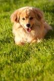solig spitz för 2 dag hundfullföljande Royaltyfri Bild
