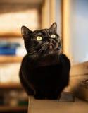 Solig svart katt royaltyfri bild