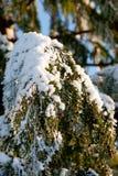 Solig trädräkning med snö Royaltyfria Bilder