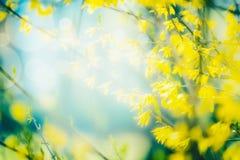 Solig vårnaturbakgrund med gult blomma för forsythia Utomhus- v?r Ram Selektivt fokusera royaltyfri bild