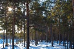 Solig vinterdag i skogen Royaltyfria Bilder