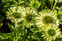 Soliga blomma blommor av den gröna juvelechinaceaen eller soliga coneflowers Royaltyfria Foton