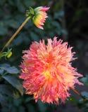 Soliga höstblommor Underbar dahlia Royaltyfri Bild