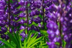 Soliga lupine lupinusbusksnår fotografering för bildbyråer