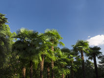Soliga palmträd Arkivbilder