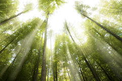 Soliga strålar i skog Royaltyfri Bild