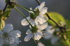 soligt blomCherry s Arkivbild