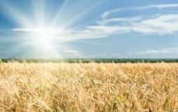 Soligt gult vetefält och blå himmel Arkivfoto