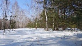 Soligt i vinterskogen fotografering för bildbyråer