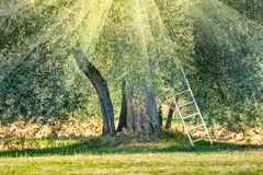 Soligt landskap för skördtid av olivträdkolonin arkivfoton