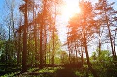 Soligt landskap för skog - skog under solljus som skiner till och med trädblasten Royaltyfri Foto