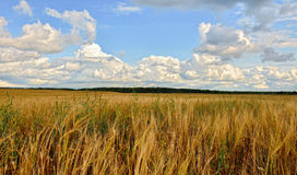 Soligt landskap för sommar med kornfältet i Ryssland Fotografering för Bildbyråer