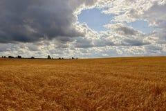Soligt landskap för sommar med kornfältet i Ryssland Royaltyfria Bilder