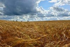 Soligt landskap för sommar med kornfältet i Ryssland Arkivfoton