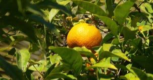 Soligt ljus 4k stänger sig upp av mandarinträd stock video
