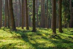 Soligt prydligt sörjer trädForest Park mossa inget royaltyfria foton
