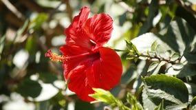 Soligt skott för röd hibiskus Arkivfoton