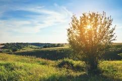 Soligt sommarlandskap med det ensamma växande trädet arkivfoton