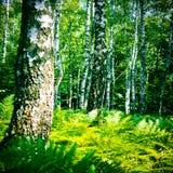soligt trä för björkdag arkivbilder