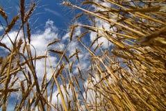 soligt vete för dagfält Arkivfoto
