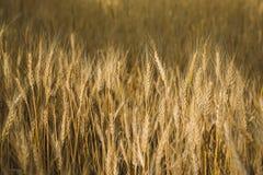 soligt vete för fält Makrofoto av öron av vete lantlig liggande Arkivbild