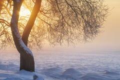 Soligt vinterlandskap på soluppgång i dimmig morgon Varmt guld- solljus tänder till och med träd i dimma vita röda stjärnor för a royaltyfri bild