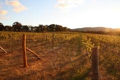 Solinställning på en vingård Arkivbild