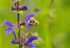 Solitário selvagem da antena longa da abelha imagens de stock royalty free