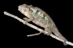 Solitair Kameleon Royalty-vrije Stock Foto