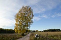 Solitaire birch Stock Photo