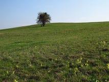 Solitaire boom in de lente Stock Afbeelding