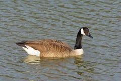 Solitaire Canadese Gans die net zwemmen aangezien het naar ca draait stock fotografie