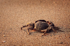 Solitaire CRAB ON BEACH Stock Image
