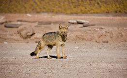 Solitaire Fox in Atacama desert stock photos