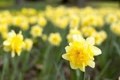 Solitaire gele narcis Royalty-vrije Stock Afbeeldingen