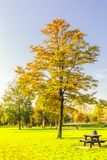 Hornbeam Park tree in autumn colors planted in a lawn. Solitaire hornbeam, Carpinus betulus, with tree leaf in autumn colors against clear blue sky royalty free stock images
