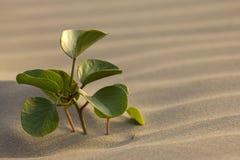 Solitaire installatie in woestijn stock afbeeldingen
