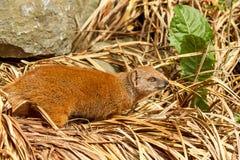 Solitaire meerkat in stro Stock Fotografie