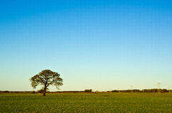 Solitaire oak tree Royalty Free Stock Image