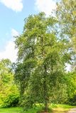 Solitaire oak tree, Quercus robur Cristata,. In an Arboretum against a blue sky with scattered clouds Stock Images
