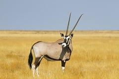 Solitaire Oryx Royalty-vrije Stock Afbeeldingen