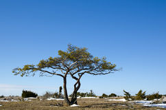 Solitaire pine tree Stock Images