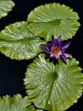 Solitaire purpere waterlelie stock foto's